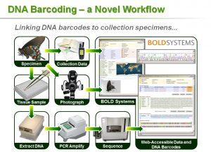 DNA barcoding workflow
