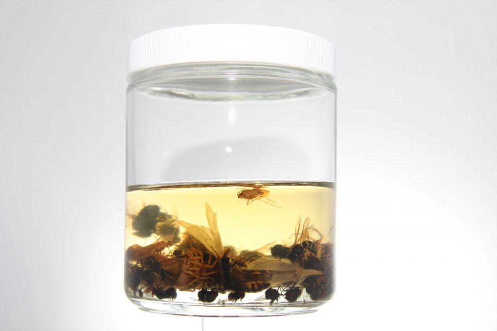 Malaise trap catch in a lot jar